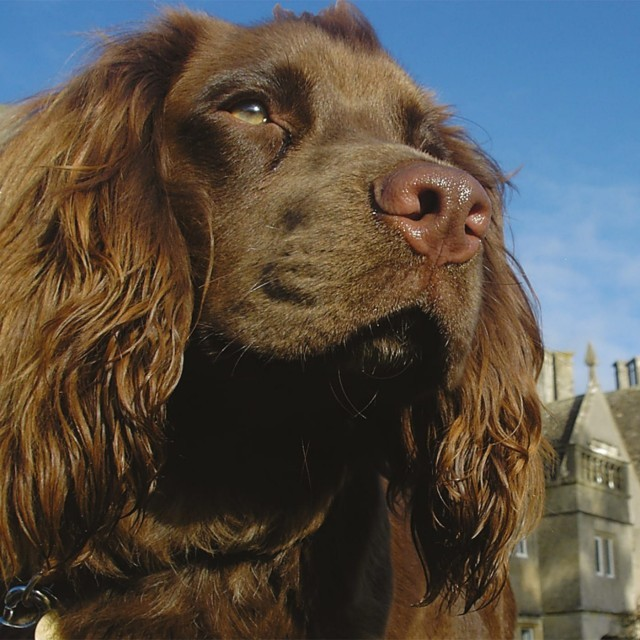 Spaniel on a dog-friendly holiday at Woolley Grange in Wiltshire