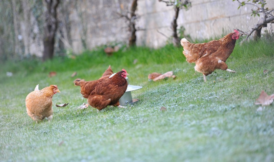 Chickens roaming the gardens at Woolley Grange luxury family hotel in Wiltshire