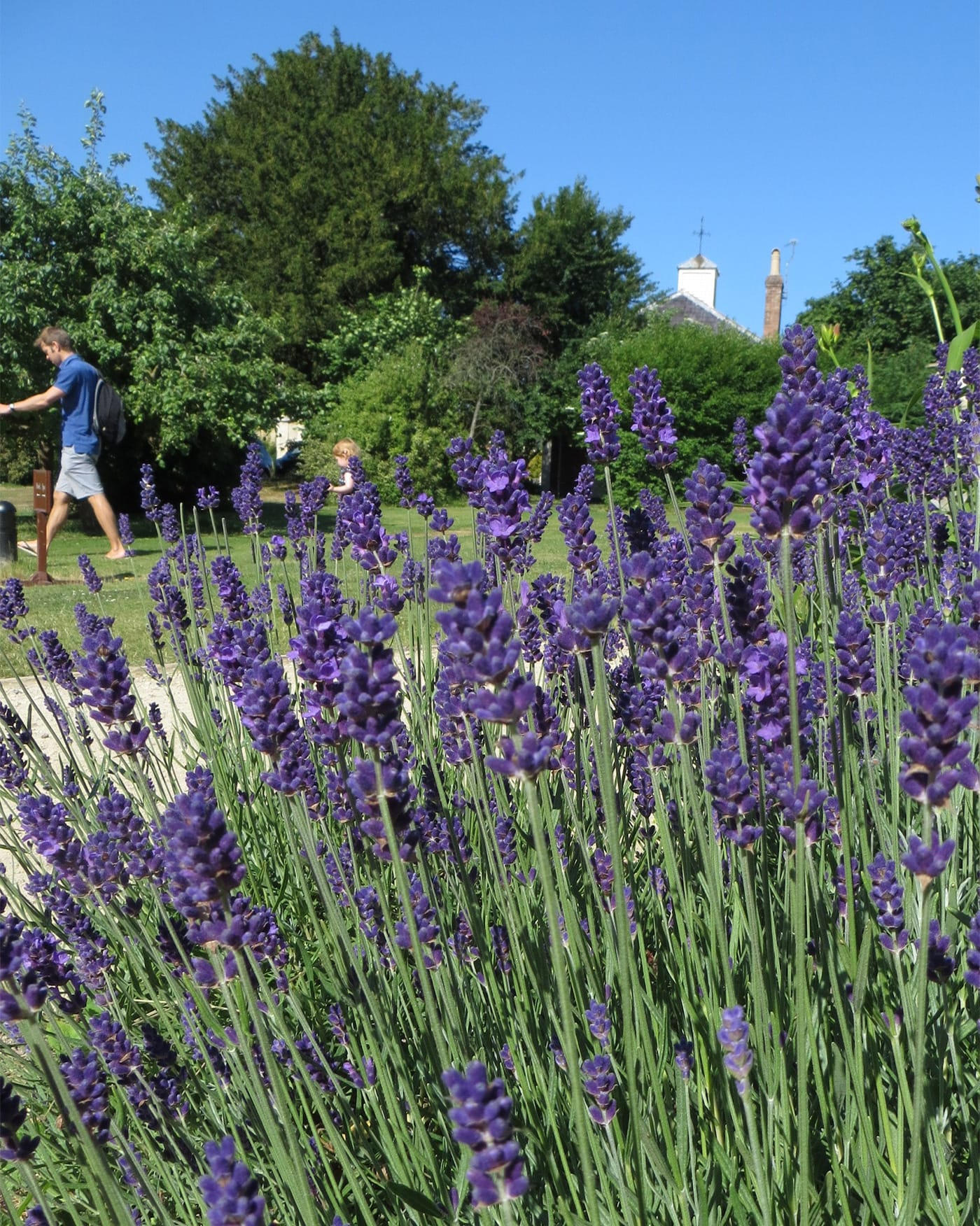 Lavender grows in the gardens at Woolley Grange – a luxury family hotel in Wiltshire